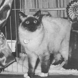 Кошки, не достигшие восьмимесячного возраста, выставляются как котята