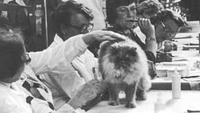 Каждый эксперт называет кандидатов на звание лучших кошки, котенка и кастрированного животного выставки